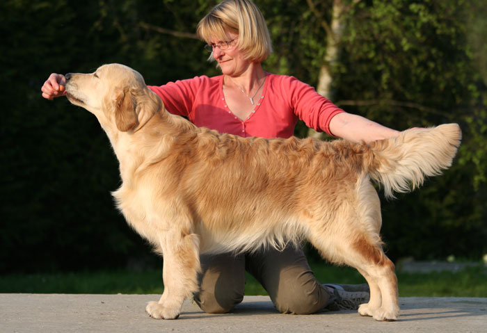 golden retriever Furyo