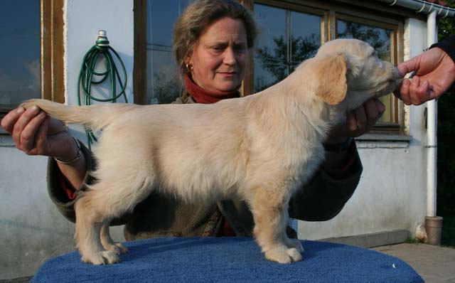 Le chiot golden retriever Furyo