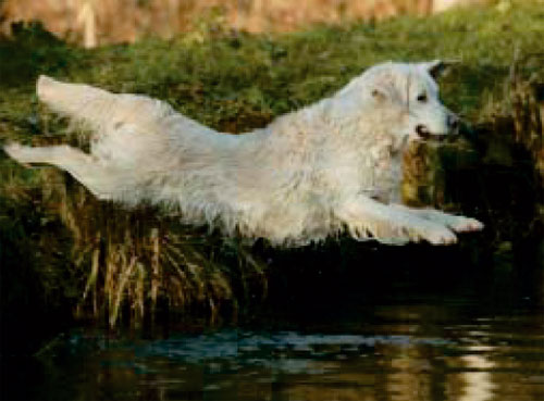 The golden retriever Moon Light du Bois de la Rayere jump to the lake