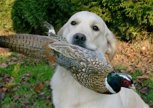 the golden retriever Tommy Girl du Bois de la Rayere 18 months with pheasant