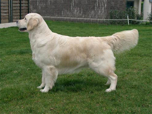 golden retriever Tommy Girl du bois de la Rayere