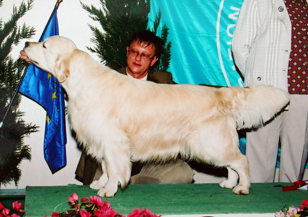 golden retriever Topaze