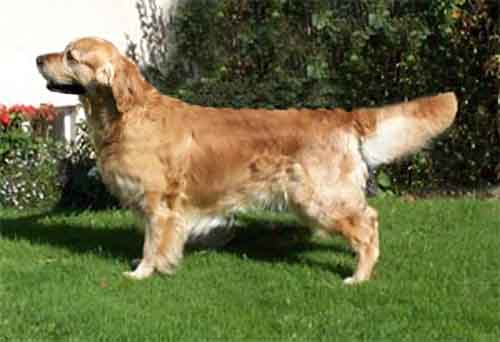 golden retriever Gatchells Jazz Player