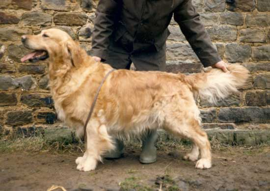 golden retriever Rossbourne Trooper