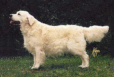 golden retriever Paudell Easter Plantagenet at Kerrien