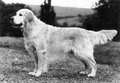 golden retriever Sansue Castalian