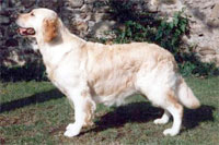 golden retriever Stanroph Silent Tears