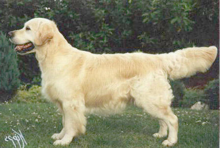 golden retriever Stanroph Soldier Boy