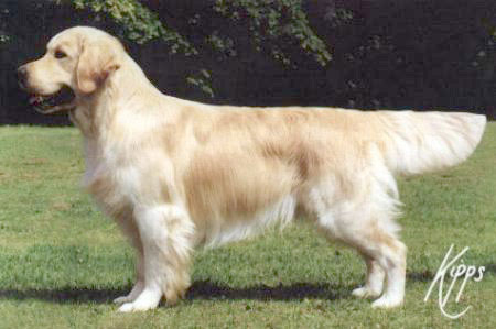 golden retriever Stanroph Squadron Leader