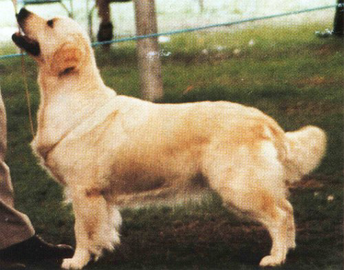 golden retriever  ritzilyn Stage Door Jenny