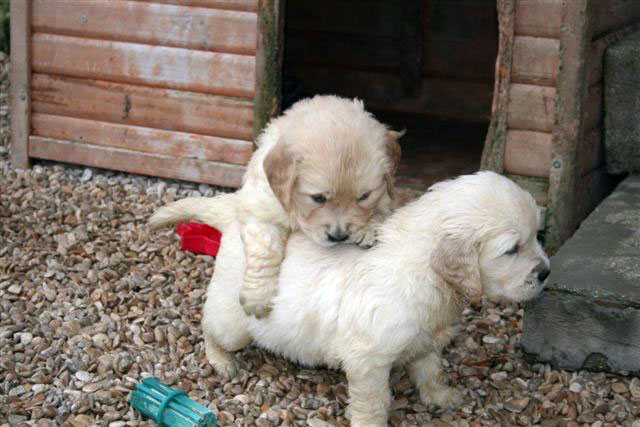 golden retrievers puppies at play
